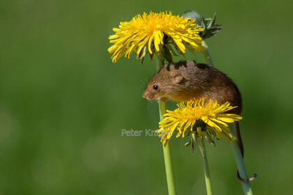 Harvest-Mice-15 