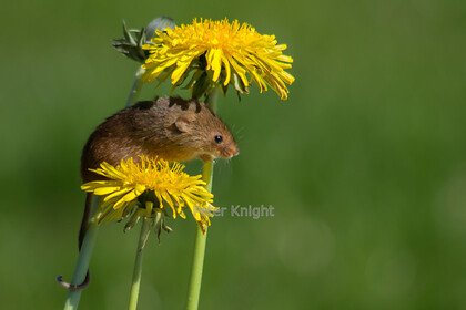 Harvest-Mice-14 
