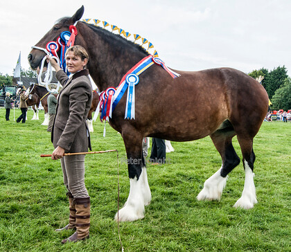 Great Eccleston Show 2014 Winner Supreme Shire 