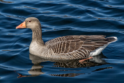 Greylag-Goose 